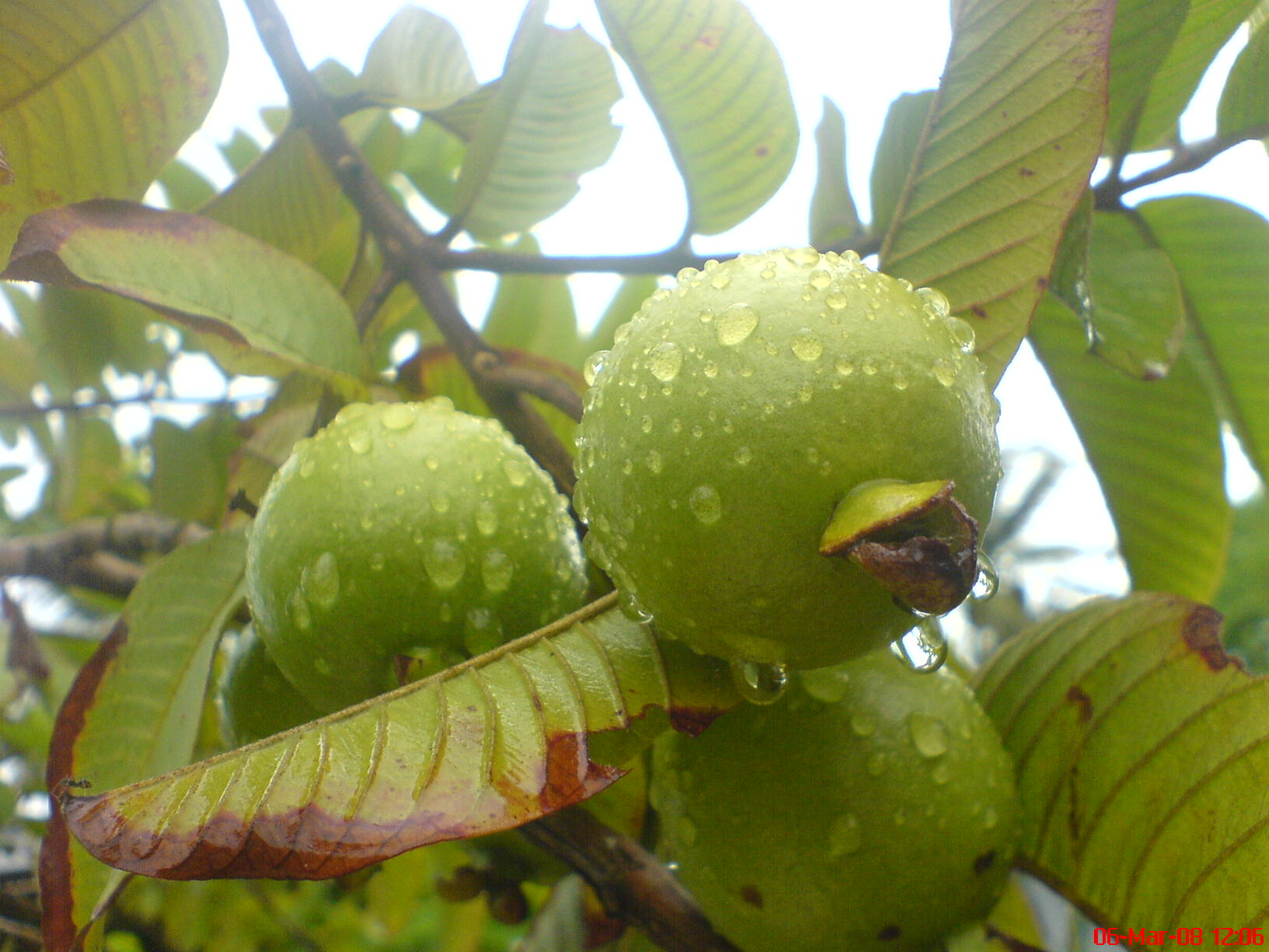 Apple_Guava.jpg