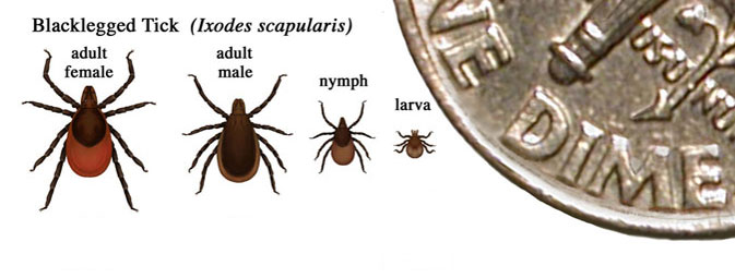 blacklegged-tick.jpg
