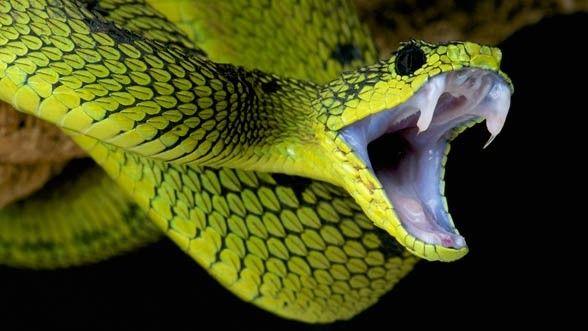 Poisonous-snake-588x331.jpg.cf.jpg