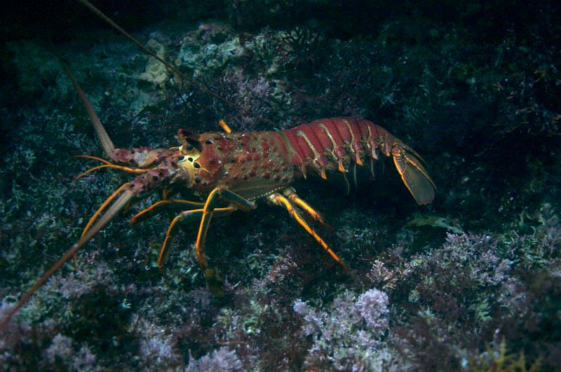 spiny-lobster_7681124874_o.jpg